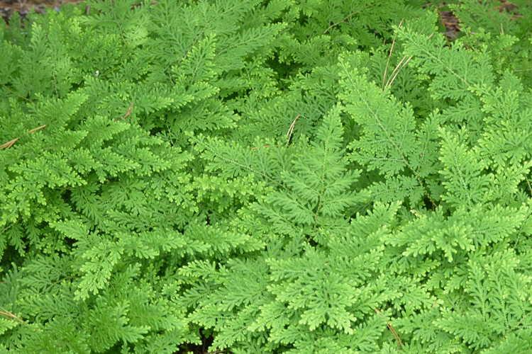 Selaginella braunii (arborvitae fern)