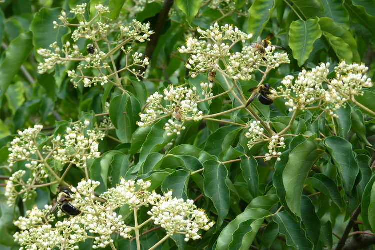 Tetradium glabrifolium (smooth bee bee tree) - The bee bee tree is enjoyed by bees today.