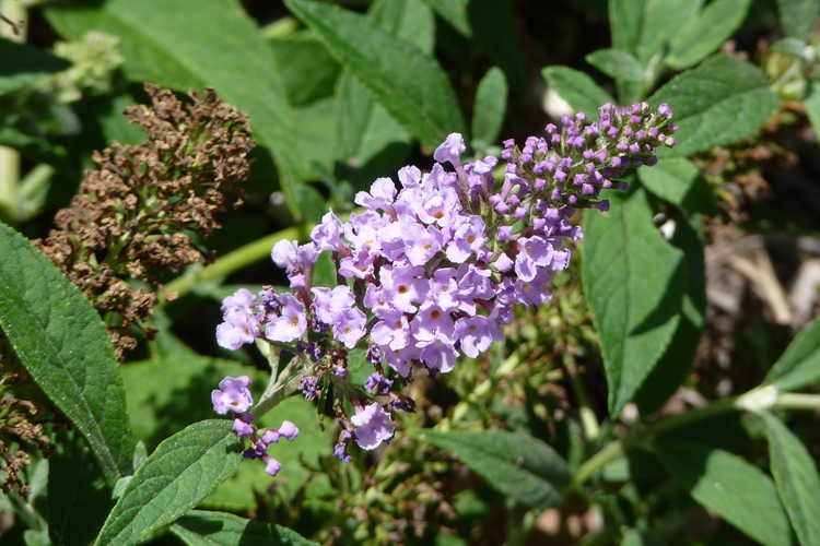 Buddleja 'Lilac Chip Jr' (dwarf butterfly-bush)