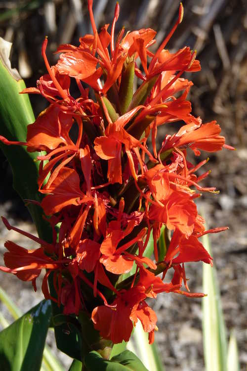 Hedychium rubrum (red ginger-lily)