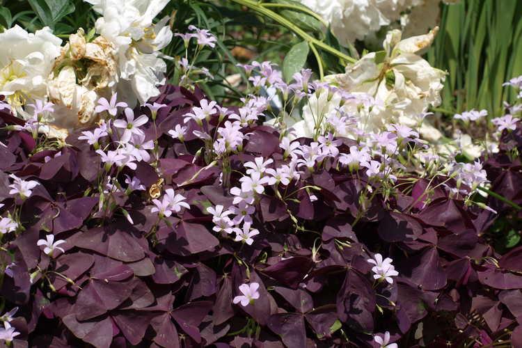 Oxalis triangularis 'Mijke' (purple shamrock)