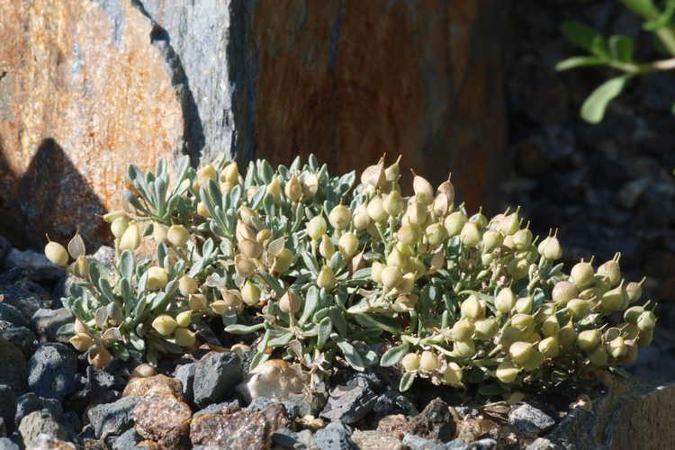 Physaria arizonica (Arizona bladderpod)