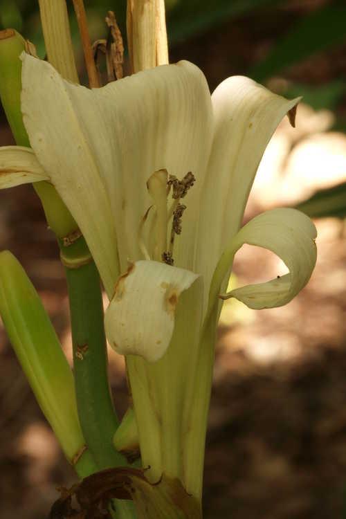 Cardiocrinum cathayanum (Himalayan lily)