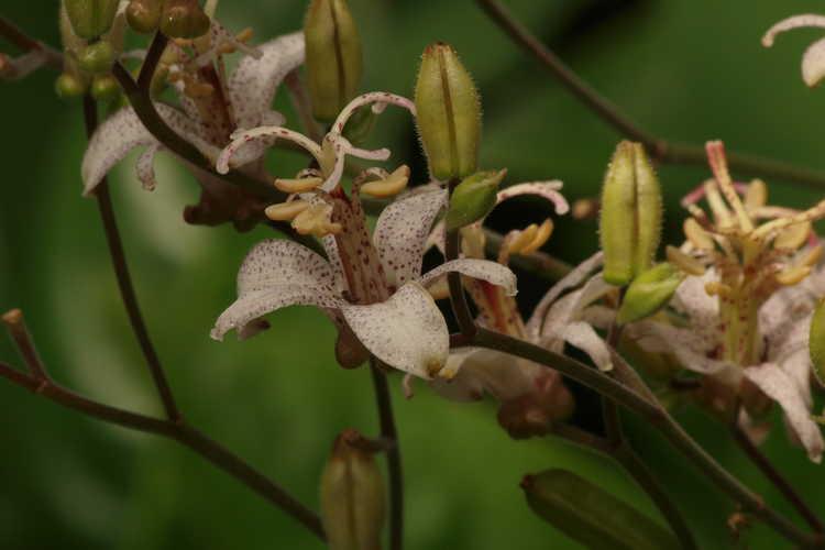 Tricyrtis formosana (toad lily)