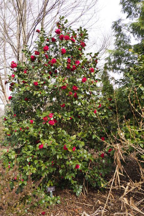 Camellia japonica 'Professor Sargent' (Japanese camellia)