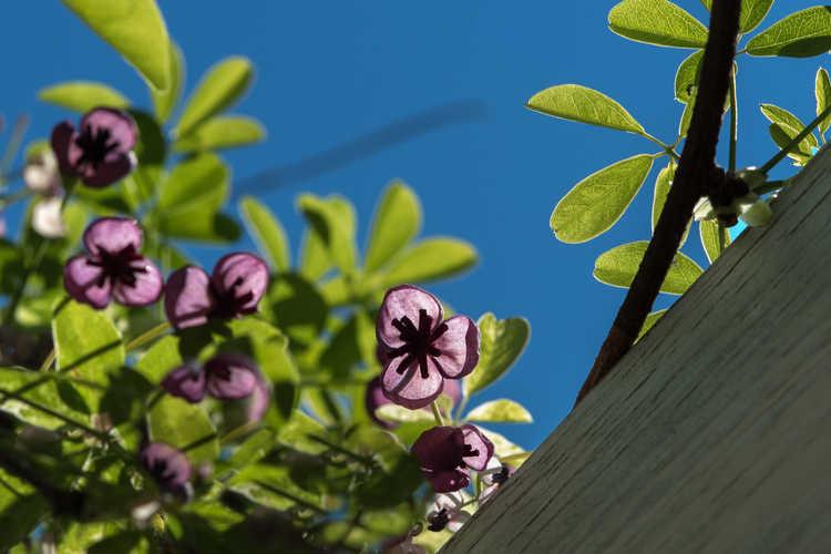 Akebia quinata 'Kohin Nishiki' (variegated chocolate vine)