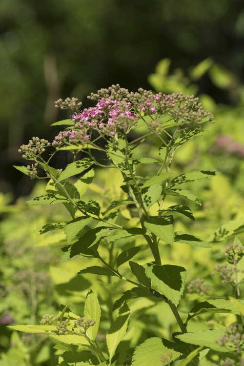Spiraea japonica 'Abigail' (Japanese spirea)