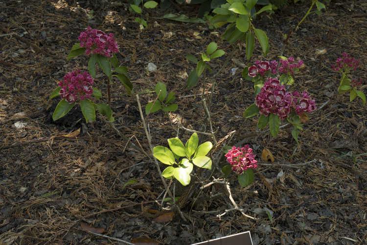 Kalmia latifolia 'Bridesmaid' (mountain laurel)