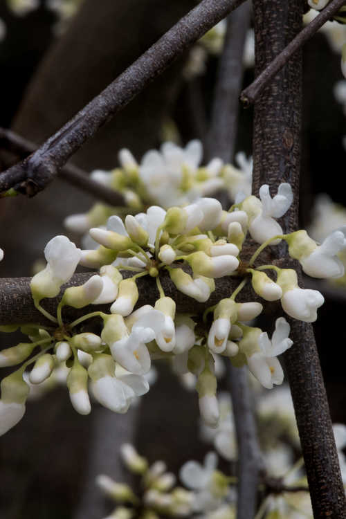 Cercis canadensis 'Vanilla Twist' (weeping white-flowered redbud)