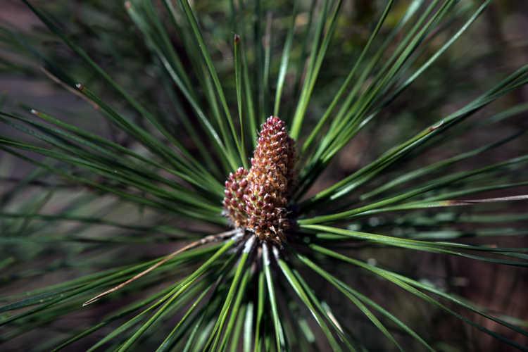 Pinus nigra 'Pierrick Bregeon' (Brepo® dwarf Austrian pine)