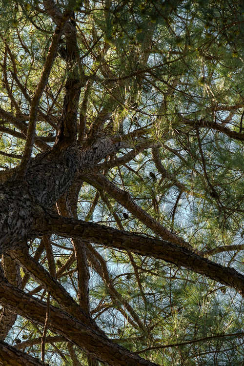 Pinus taeda (loblolly pine)