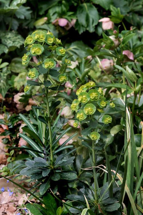 Euphorbia amygdaloides var. robbiae (Mrs. Robb's bonnet)