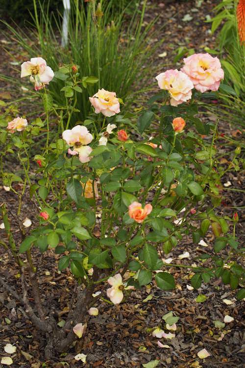 Rosa 'Frycentury' (Day Breaker floribunda rose)