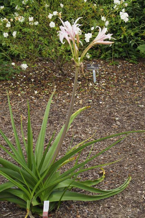 Crinum ×eboracii 'Twelve Apostles' (crinum-lily)