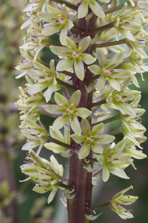 Eucomis comosa 'Sparkling Burgundy' (purple-leaf pineapple-lily)