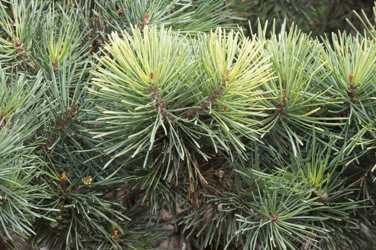 Pinus sylvestris 'KBN Gold' (Scots pine)