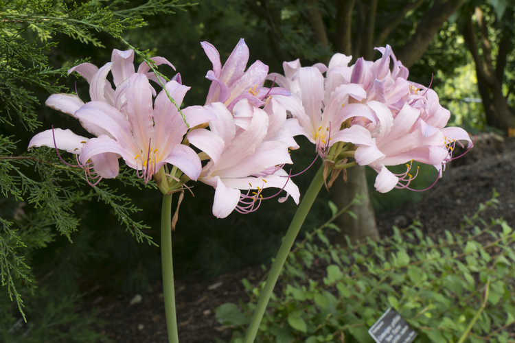 Lycoris squamigera (surprise lily)