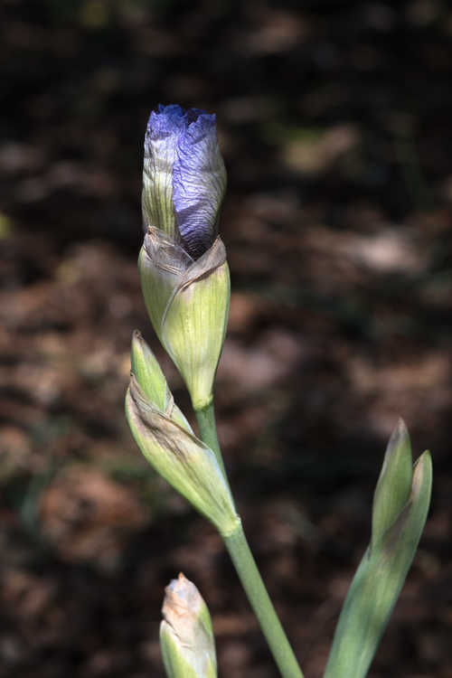 Iris 'Walker Ross' (arilbred iris)