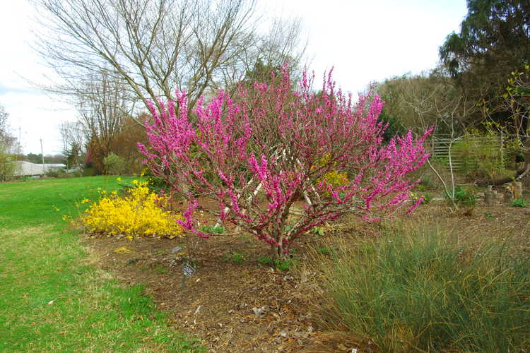 Cercis chinensis 'Don Egolf' (seedless Chinese redbud )