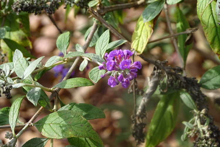 Buddleja 'Blue Chip' (Lo & Behold compact butterfly-bush)