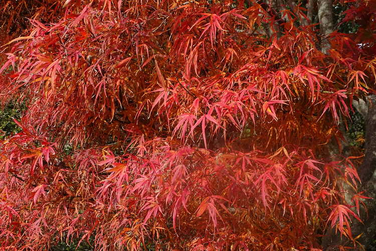 Acer palmatum 'Koto ito komachi' (dwarf threadleaf Japanese maple)