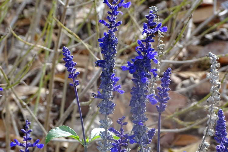 Salvia nemorosa 'Caradonna' (European wood sage)