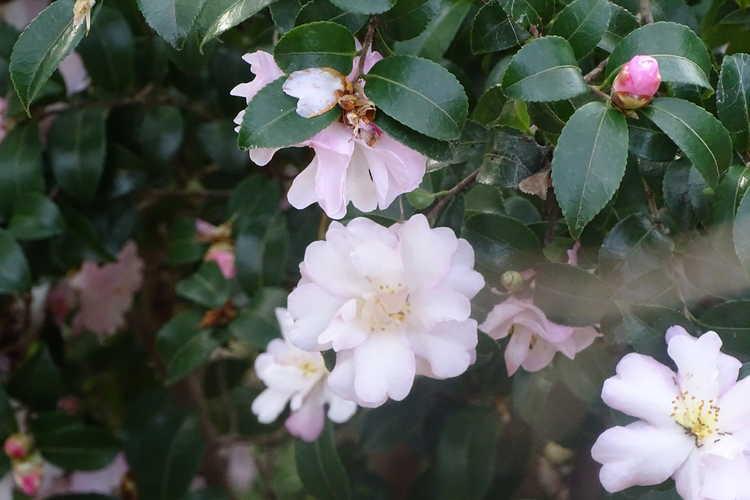Camellia sasanqua 'Green 94-035' (October Magic Orchid sasanqua camellia)