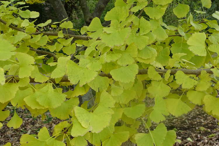 Ginkgo biloba 'JFS-UGA2' (Golden Colonnade upright maidenhair tree)