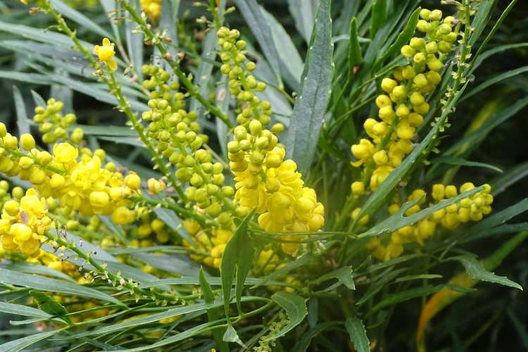 Mahonia eurybracteata subsp. ganpinensis 'Soft Caress' (grapeholly)