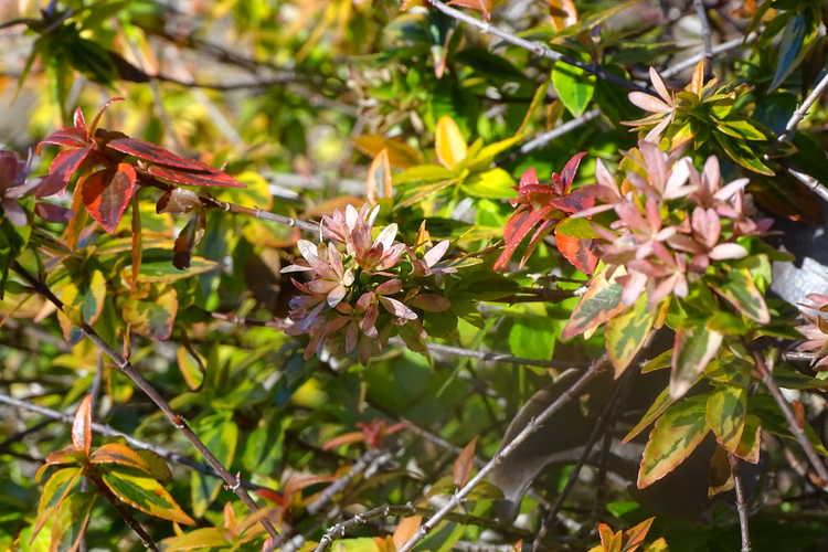 Abelia ×grandiflora 'Kaleidoscope' (variegated glossy abelia)