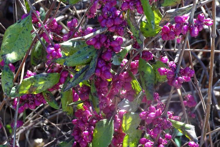 Symphoricarpos ×doorenbosii 'Pink Magic' (Doorenbos coralberry)