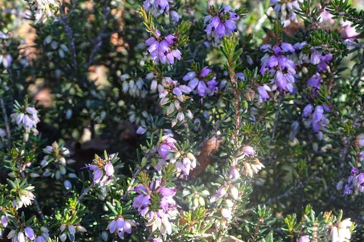 Erica ×darleyensis 'Furzey' (Darley heath)