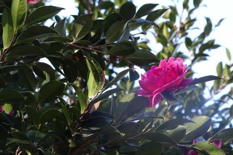 Camellia ×vernalis 'Hiryû' (vernal camellia)