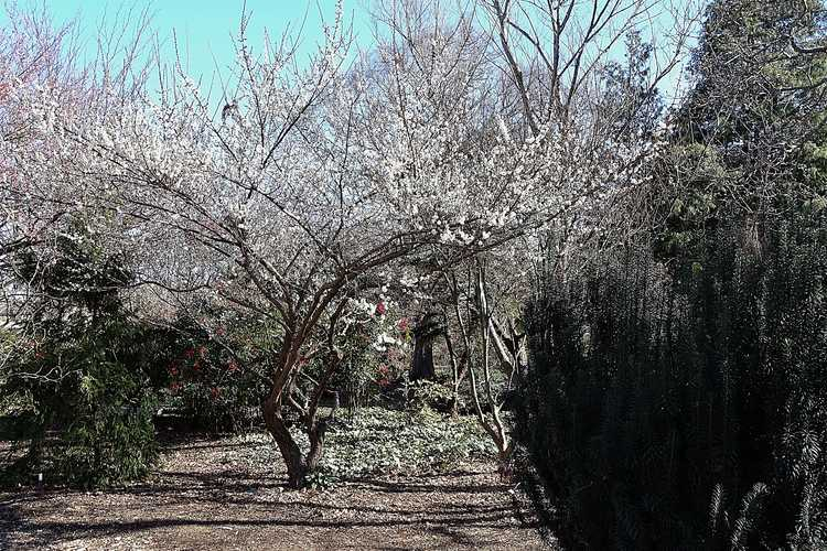Prunus mume 'Tojibai' (white Japanese flowering apricot)