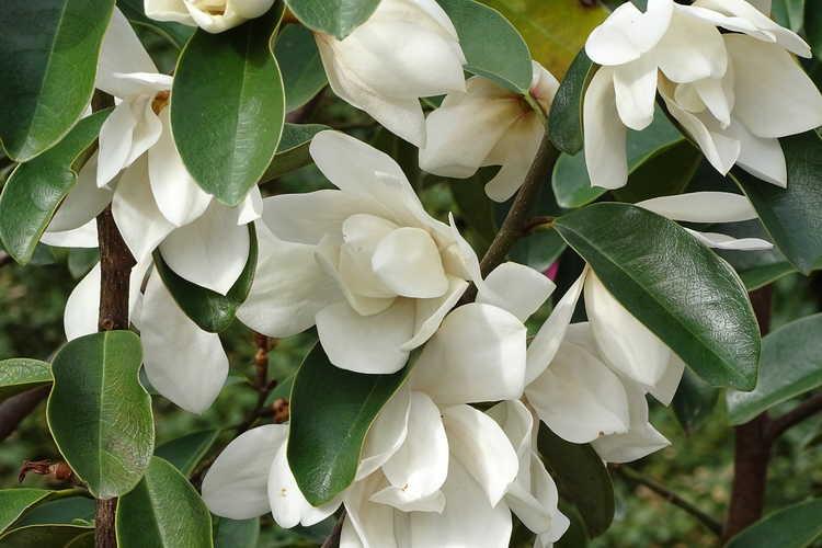 Magnolia 'Eternal Spring' (hybrid magnolia)