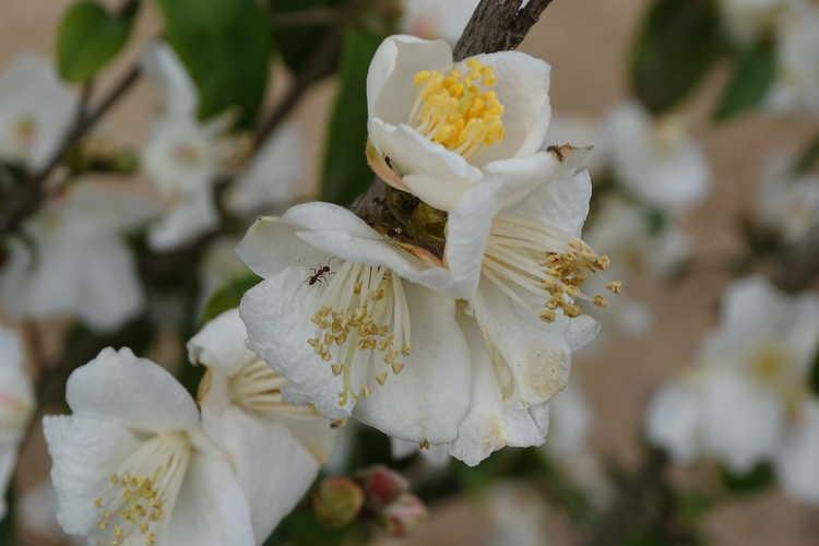 Camellia fraterna (camellia)