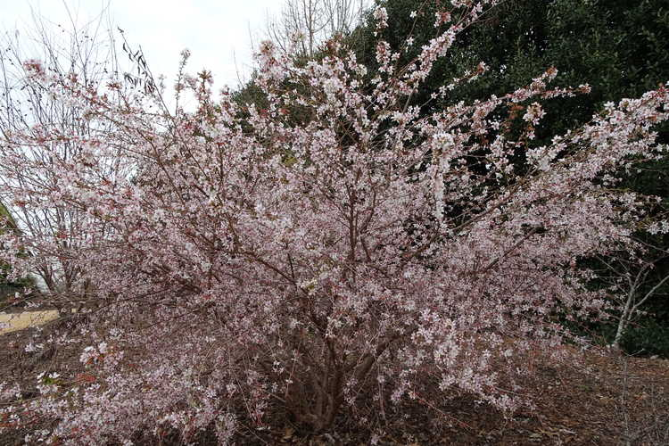 Prunus incisa 'Shikizaki' (weeping Fuji cherry)