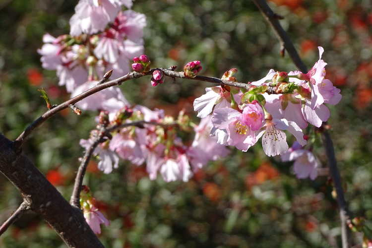 Prunus 'Ncph1' (Pink Cascade™ weeping flowering cherry)