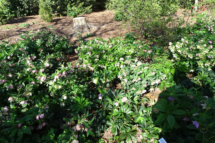 Helleborus ×hybridus (mid-pink shades) (Lenten rose)