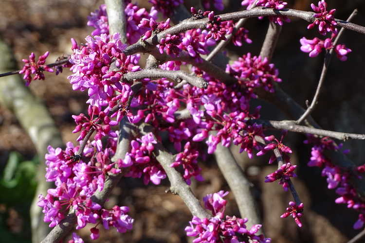 Cercis canadensis var. texensis 'Traveller' (weeping Texas redbud)