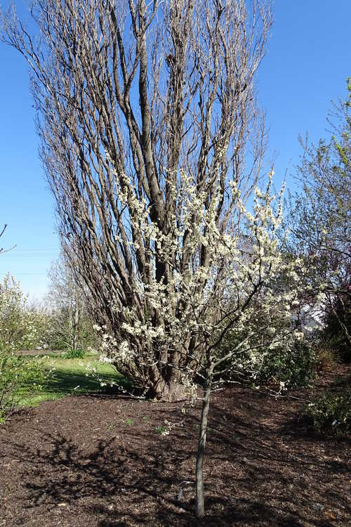 Cercis canadensis var. texensis 'Texas White' (white Texas redbud)