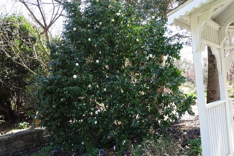 Camellia japonica 'White Perfection' (Japanese camellia)
