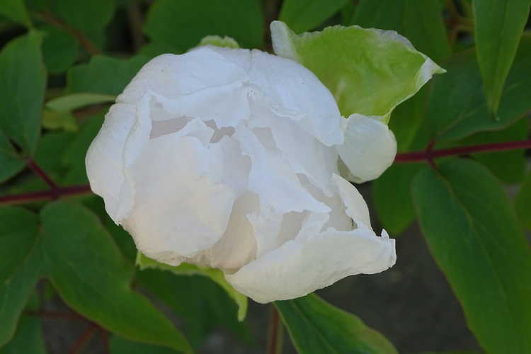 Paeonia ostii 'Feng Dan Bai' (Phoenix White™ Osti's tree peony)