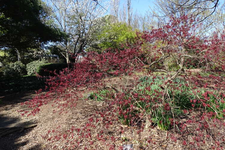 Acer palmatum Dissectum Atropurpureum Group (red lace-leaf Japanese maple)