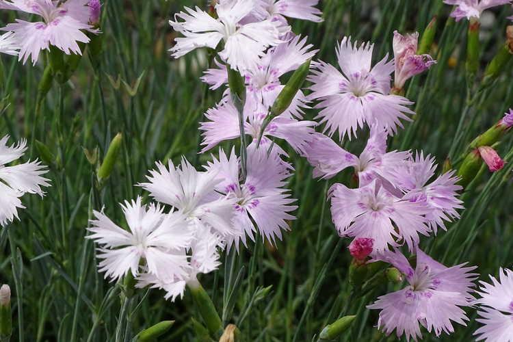 Dianthus tianschanicus (Tianshan carnation)