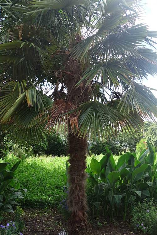 Trachycarpus fortunei 'Taylor's Hardy' (hardy windmill palm)