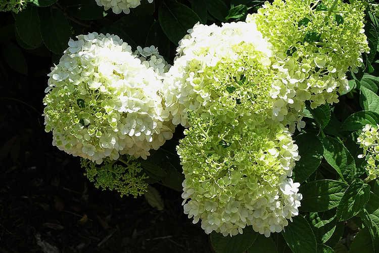 Hydrangea paniculata 'Ilvobo' (Bobo panicled hydrangea)