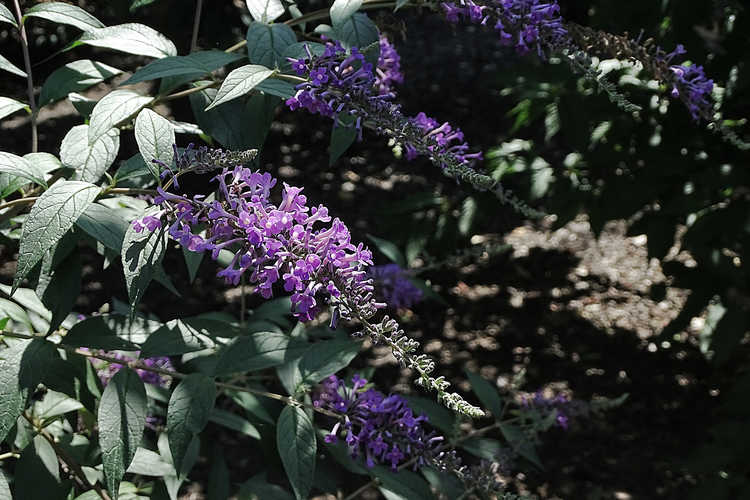 Buddleja 'Ilv Oargus 2' (Inspired™ Violet butterfly-bush)