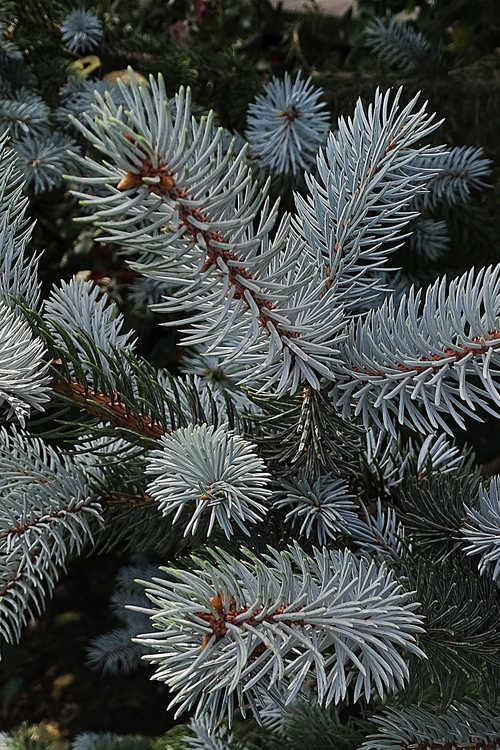 Picea pungens 'Hoopsii' (Colorado blue spruce)