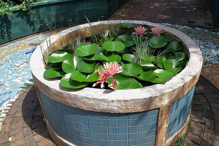 Nymphaea 'Colorado' (hybrid water-lily)